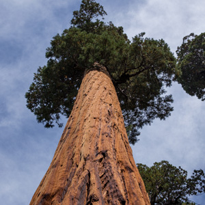 intext 2 - sequoia.jpg